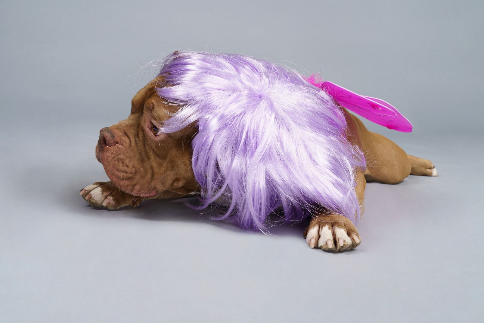 Vorderansicht einer müden hundefee in der lila perücke liegend