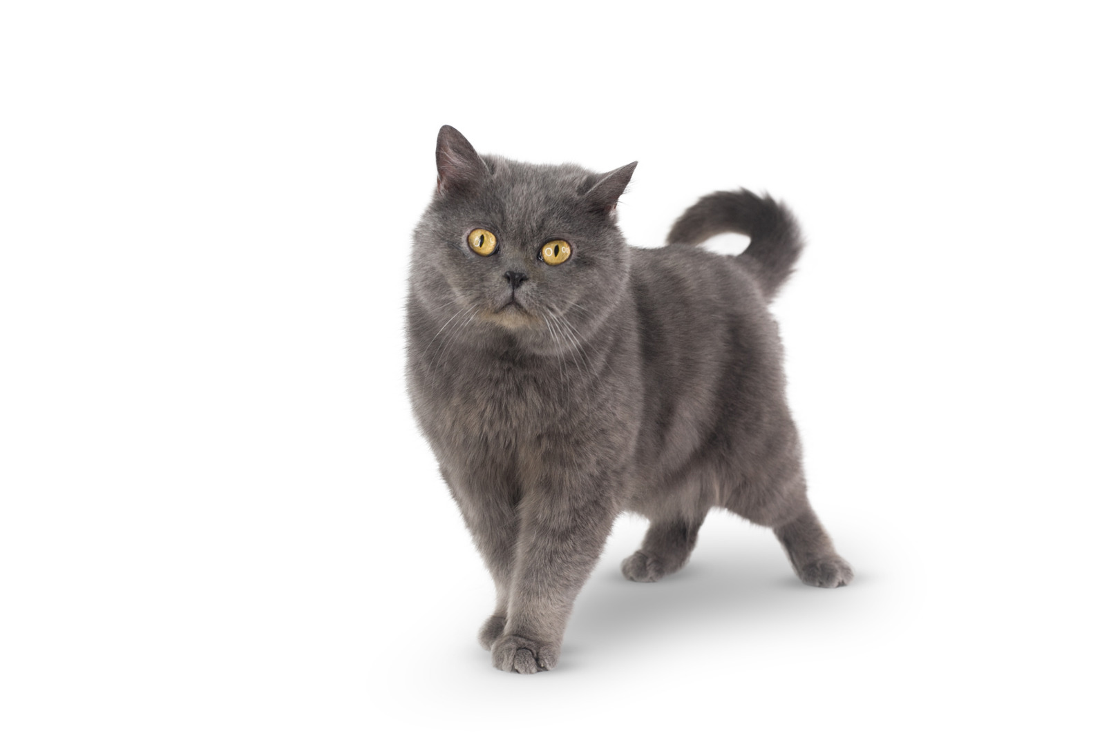 What a nice grey animal cat
