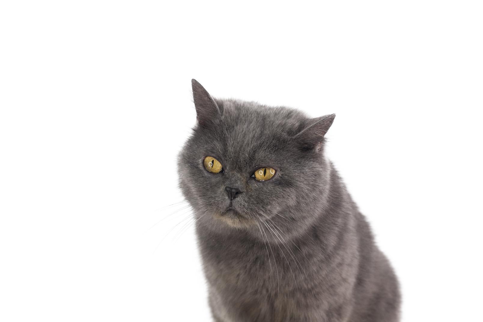O que um bom gato animal cinzento