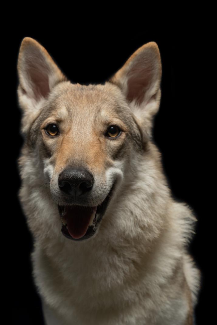Reinrassiger hund, der kamera betrachtet