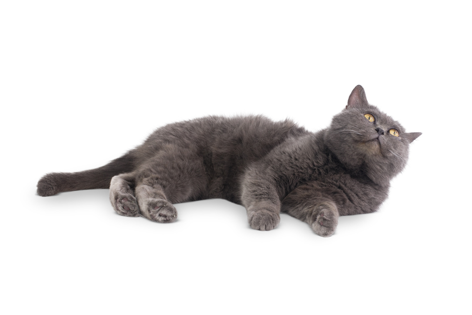 Grey cat lying on its side
