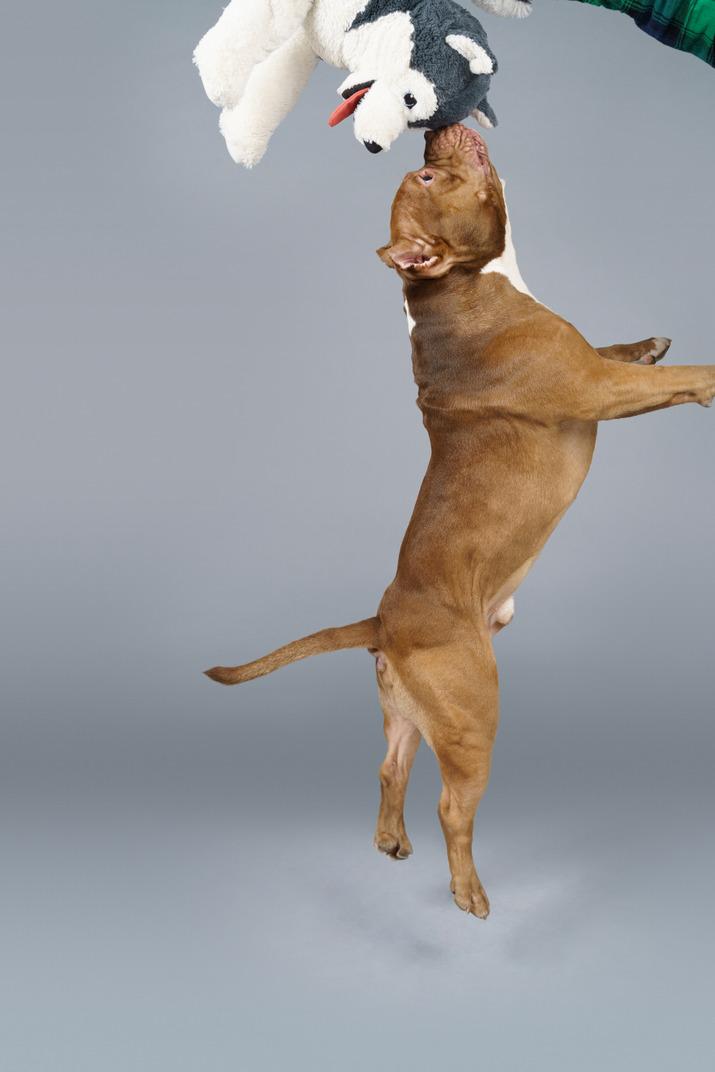Seitenansicht einer braunen bulldogge, die spielzeughund in einem sprung berührt