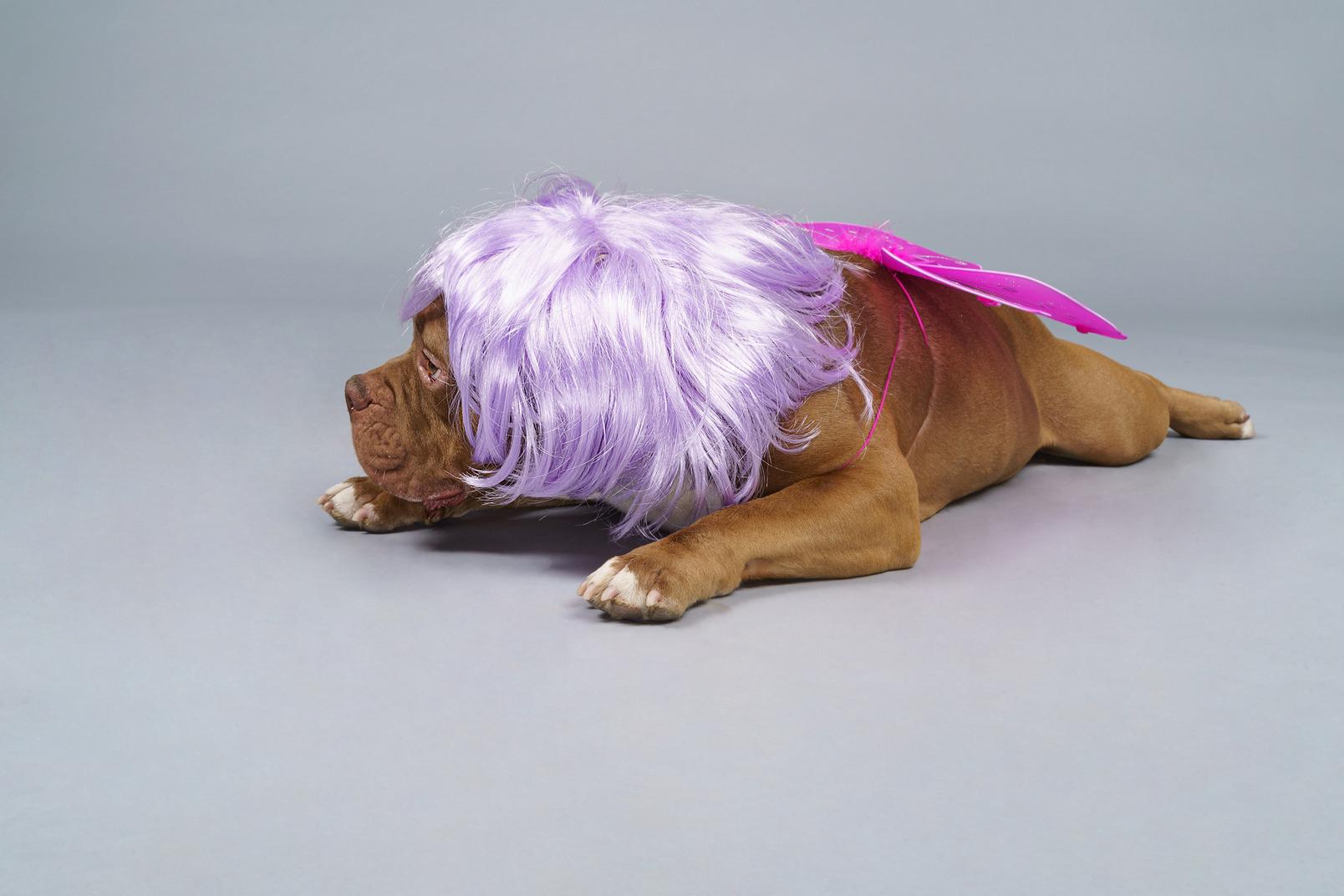 Vorderansicht einer müden hundefee in der lila perücke liegend und beiseite schauend
