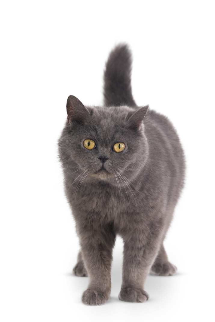 Grey cat standing on its four paws
